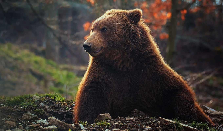 медведь, desktop, мишка, bruins, iphone,