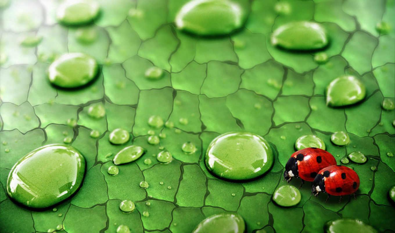 капли, коровки, коровка, божья, божьи, лист, роса, насекомые, ladybugs, зелень, desktop, fondos, gotas, hoja, дождевые, download, nature, drops, pantalla, agua, net, ladybug,