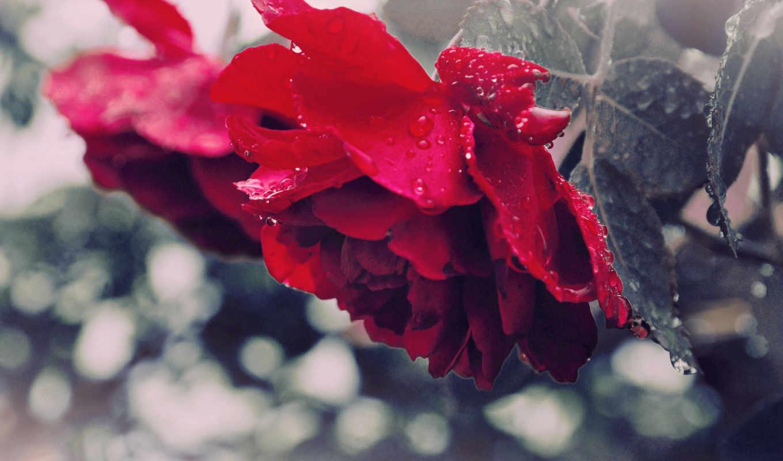 цветы, красавица, роза, красная, макро, капли, листья,