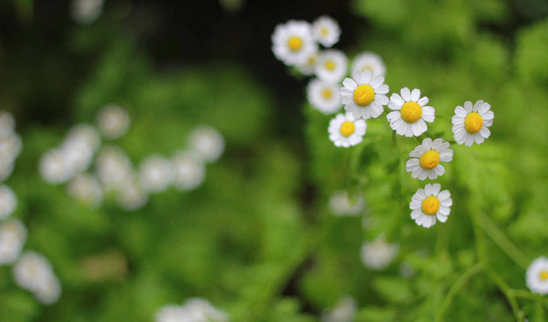 flowers, цветы, desktop,