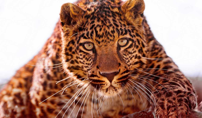 взгляд, zhivotnye, лапа, тигр, морда, тигры, хищник, весна,
