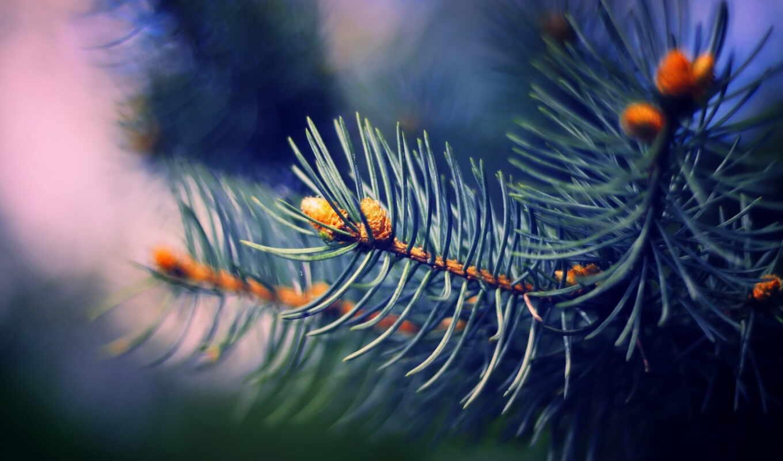 branch, makryi, eli, иголки, ель, интерьер,