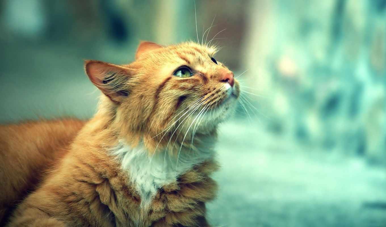 рыжий, смотрит, cat, котик, глаза, красивый, котэ, animals, free, cats, улица, eyed, green, взгляд, оригинал, день,