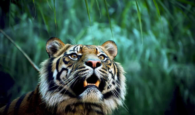zhivotnye, коллекция, красивые, тигры, тигр,