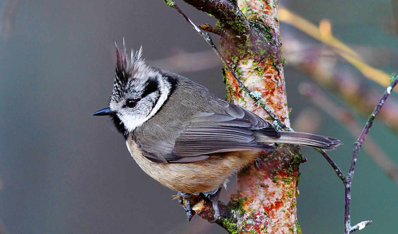 птица, ветке, синица, хохлатка,