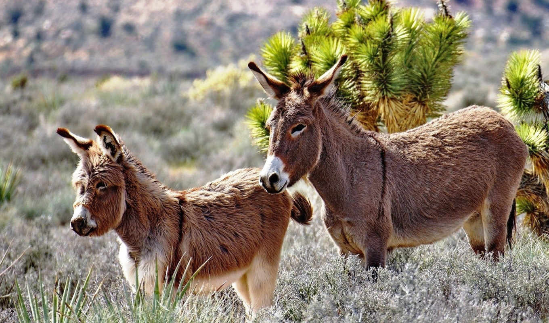 donkey, zhivotnye, картинка, possible, ослики,