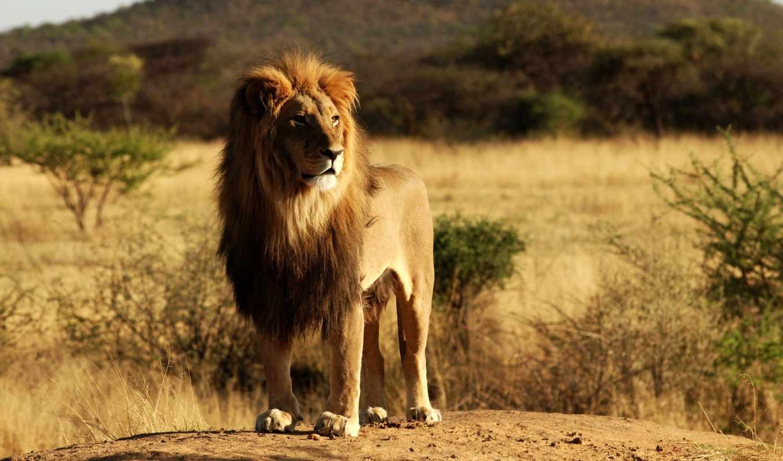 lion, zhivotnye, фотообои, хищник, king, loading, рычит,