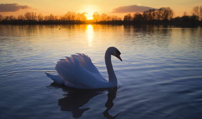 лебедь, озеро, птица, white, пруду, избранные, добавить, zhivotnye, cygnus,