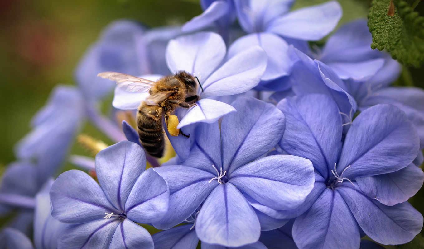 макро, цветы, сиреневые, пчела, лепестки, шалфей,