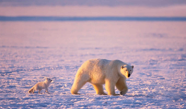 медведь, white, arctic, медведи, мишка, белые, лед, arctic fox, снег,