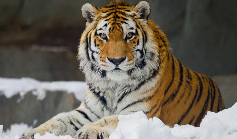 тигр, amur, кот, морда, дикая,