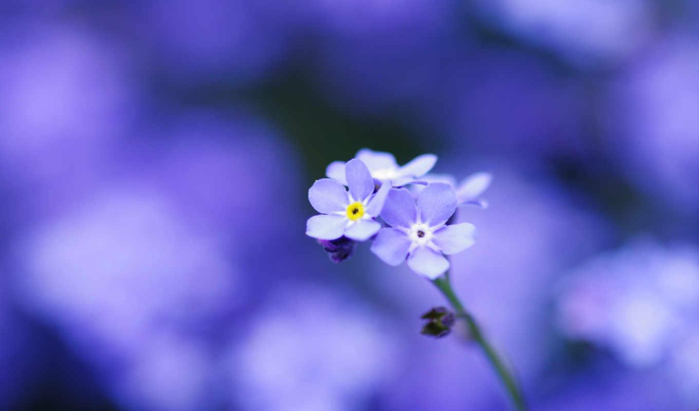 цветы, макро, незабудки, лепестки, голубые, нежность,