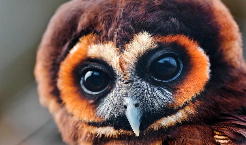 сова, птица, глаза, совёнок, перья,