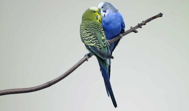 попугаи, птицы, love, pair, попугай,