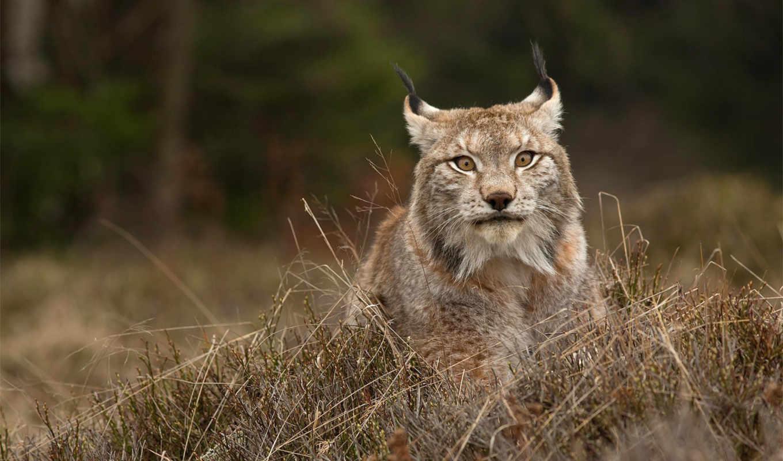 lynx, european, predator, cat, кошки, морда, galerie, zygmunt, face, milan, животное,