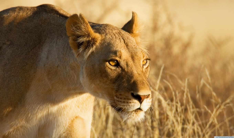 животные, от, львица, охота,