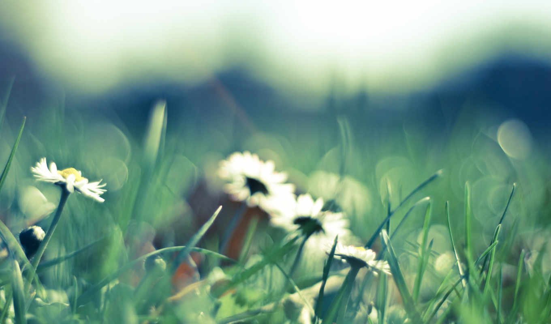 поляна, цветы, ромашки, белые, трава, природа, лепестки,