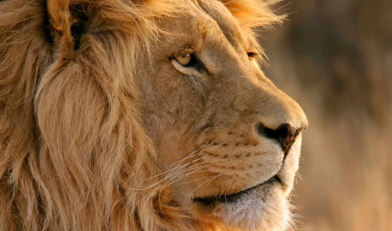 высокого, льва, качества, животные, февр, этого, выберите, need, июня, тема, сложная, большому, счету, очень, ну, заказов, была, прошлая, июньского, нашем, сайте, львами,