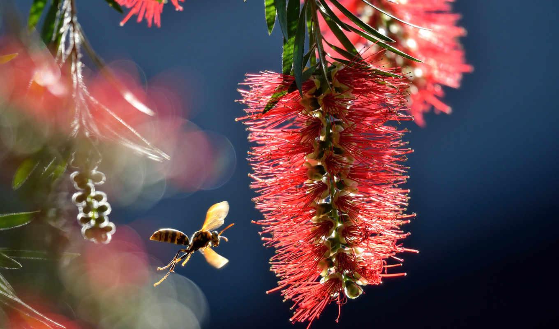 макро, пчелка, насекомое, цветок,