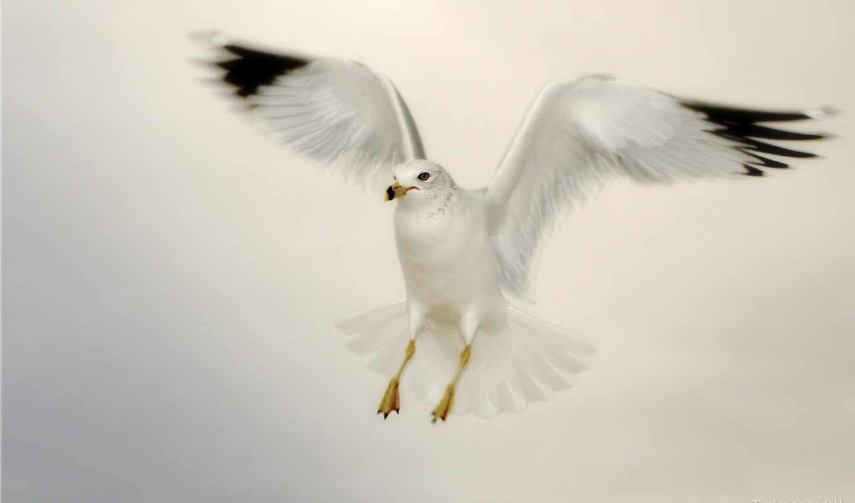 чайка, обои, фото, белая, животные, птица, шт, стр