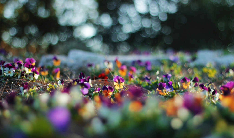 цветы, лето, анютины, глазки, природа, блики,