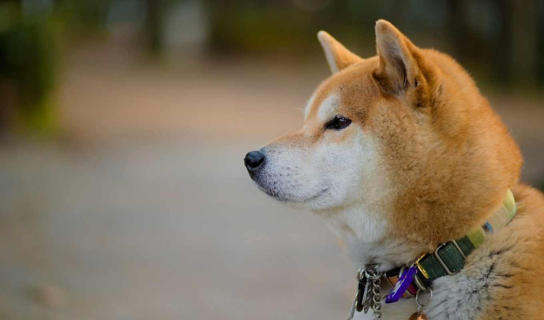 акита, собака, zhivotnye, собак, собаки, породы, взгляд, страница,
