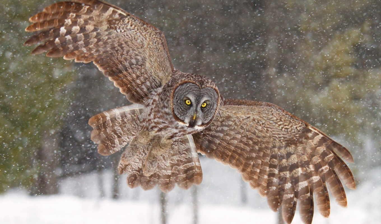 сова, great, wings, grey, images, rm, getty, серый, rf,