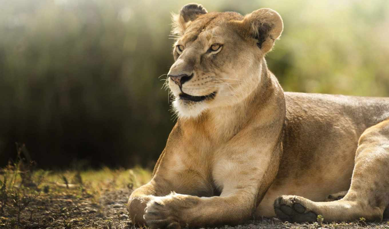 саванна, львица, lion, animals, фотообои, zhivotnye, саратова,