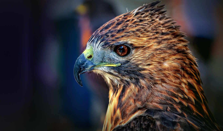 falcon, голова, орлиный глаз, глаз