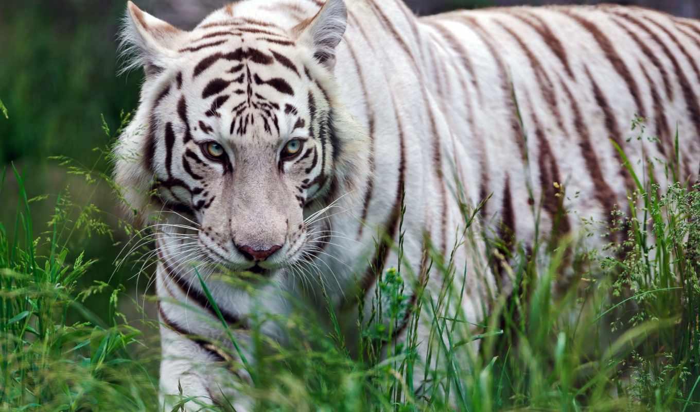тигр, white, хищник,
