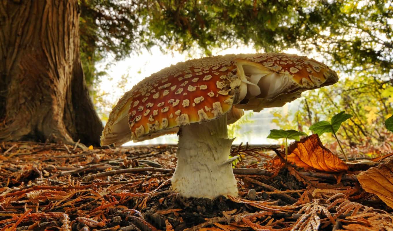mushroom, высокого, мухомор, качества, макро,