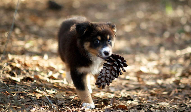 щенок, кот, играет, шишки, собака, корм, собакой, собаки, своим, фокс, делам,