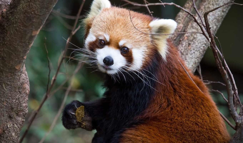 панда, small, zoo