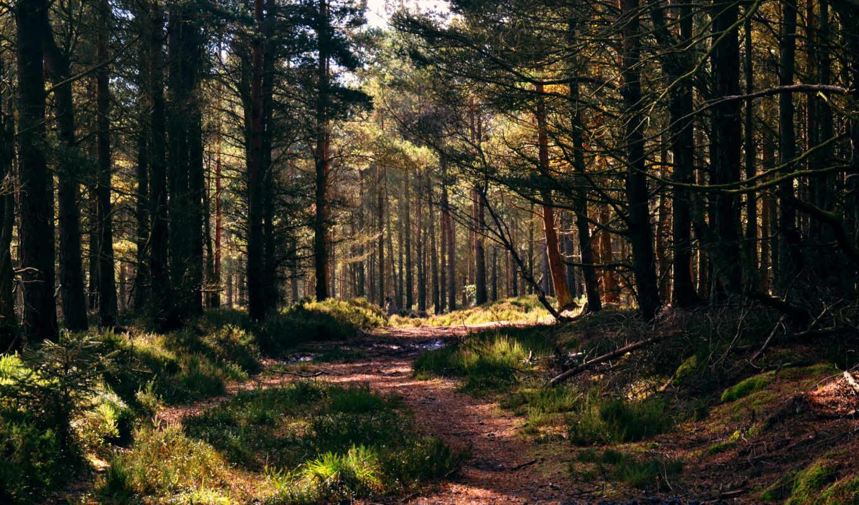 лес, oir, хвойный, трек