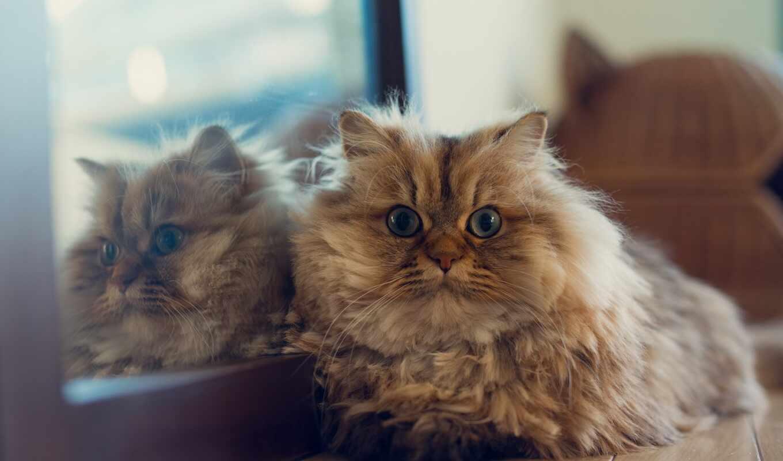 кот, зеркало, daisy, ложь, toride, отражение