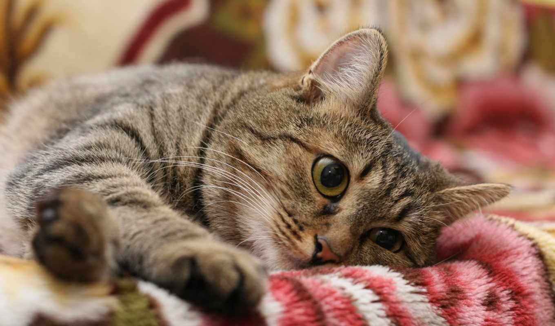 кот, полосатый, серый, полосатая, дек,