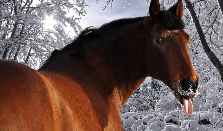 winter, лошадь, язык, снег, лошади,
