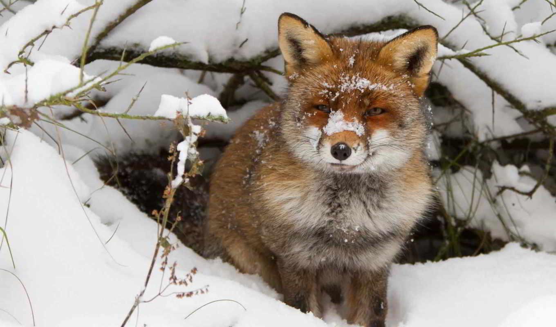 фокс, лисы, норе, спит, клубком, свернувшись, норах, но, норы, живут, постоянно,