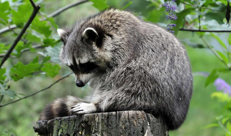 сидит, животных, енот, разные, разных, пушистики, дерева, пне, stump,