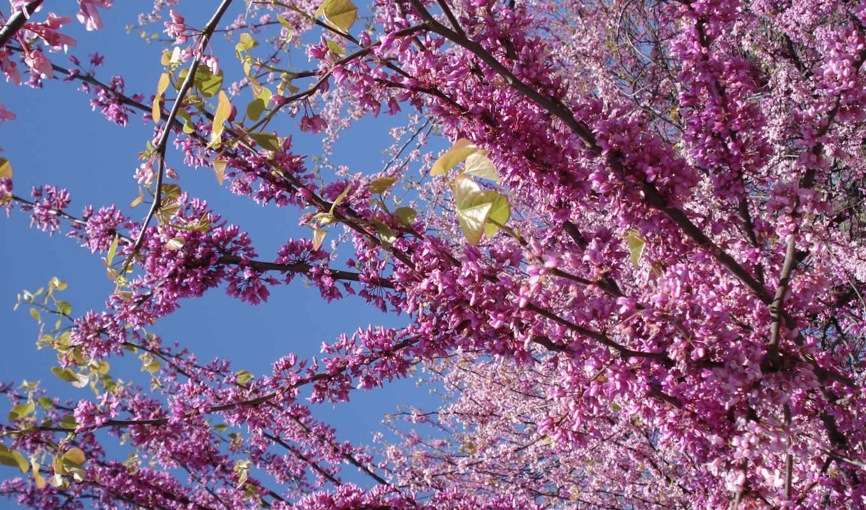 соцветие, розовое, яркого, цветение, небом, день, сирень, весна,