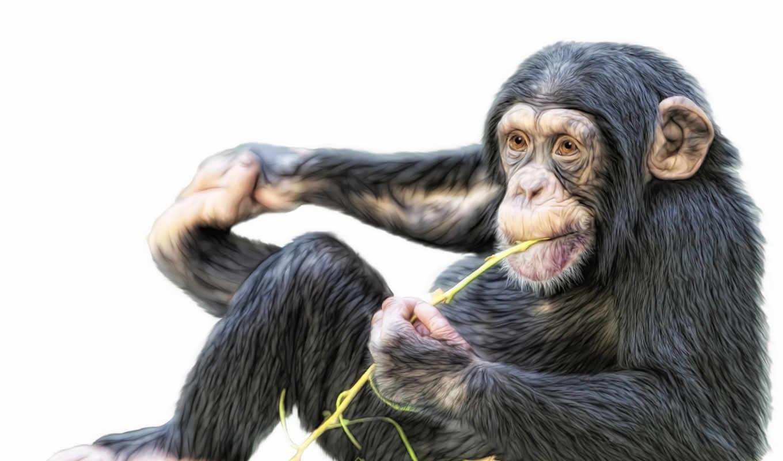 обезьяна, шипанзе, трава,
