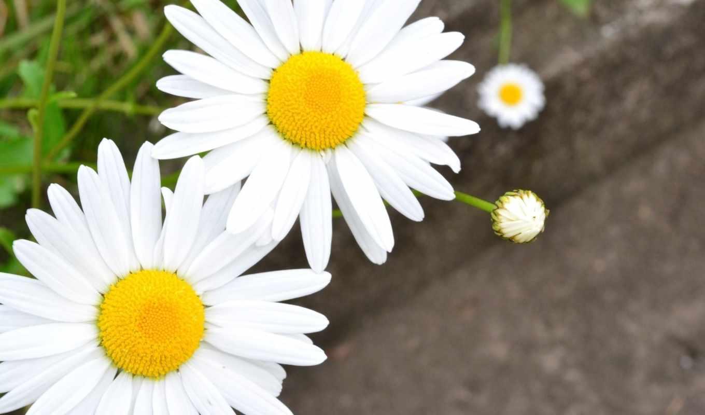 cvety, ромашка, сђрѕрјр, ромашки, цветочки, фотографий,
