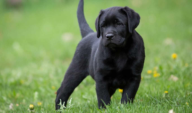 labrador, english, black, щенок, собака, puppies, retriever,