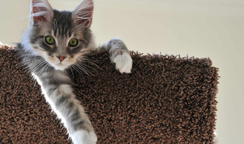кот, серый, kun, mein, серая, mainecoon, фоны, котенок,