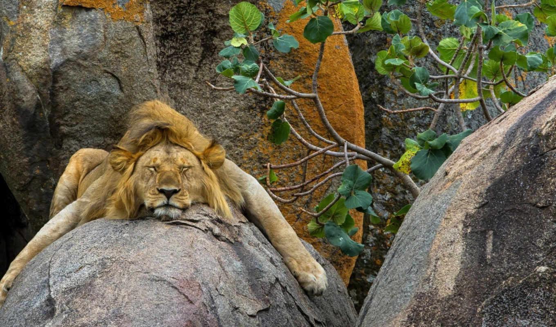 lion, спит,