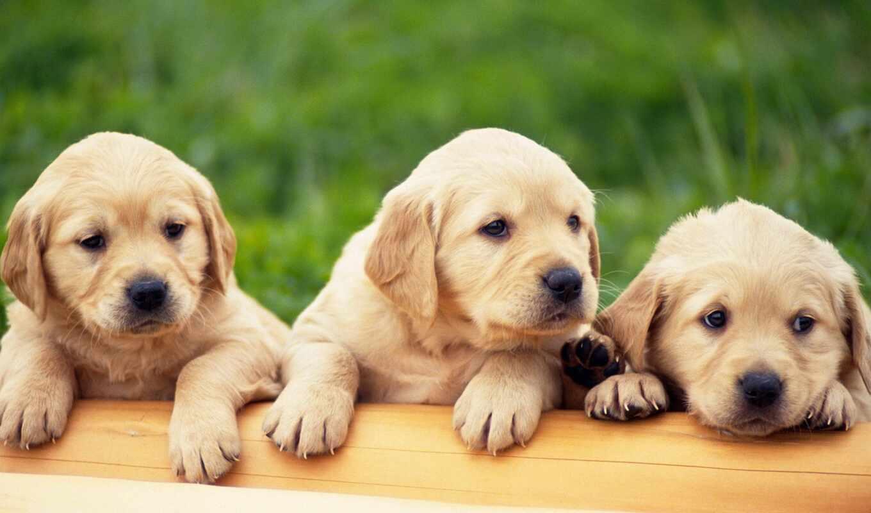 labrador, щенок, золотистый, собака
