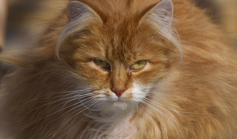 кот, рыжий, март, картинка, картинку, cats, же, animals,