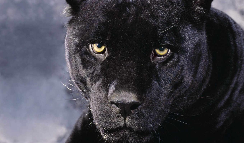 panther, black, найти, других, войдите, зарегистрируйтесь, пантера, contact, котики,
