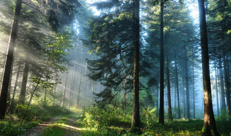 сосны, лесу, высокие,