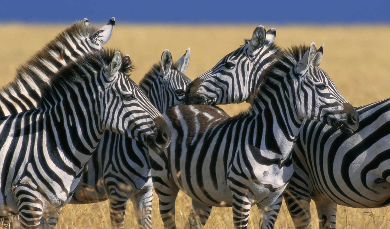 зебры, zebra, zhivotnye, фотография, тройка, рептилии, русская, широкоформатные, качественные, фотографий, панда,